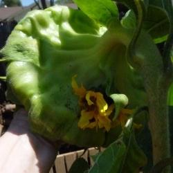Mutated-California-Sunflowers-002