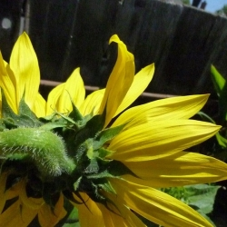 Mutated-California-Sunflowers-005