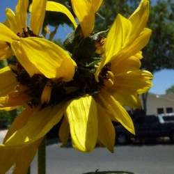 Mutated-California-Sunflowers-006