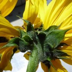 Mutated-California-Sunflowers-009
