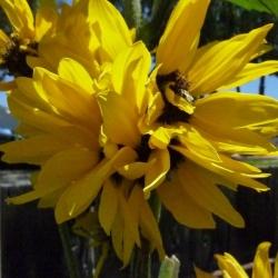 Mutated-California-Sunflowers-010
