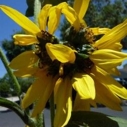 Mutated-California-Sunflowers-011