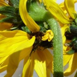 Mutated-California-Sunflowers-012