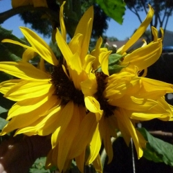 Mutated-California-Sunflowers-013