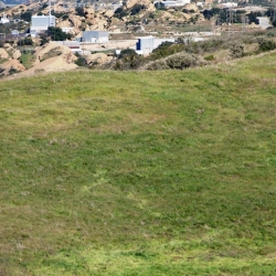 April 2011 Cow in Runkle Canyon photo by William Preston Bowling