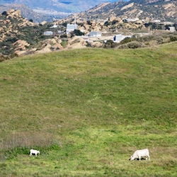 April 2011 Cows in Runkle Canyon photo by William Preston Bowling