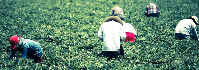 Migrants pick strawberries on the Oxnard Plain - courtesy Alex Proimos