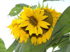 Mutated California Sunflowers July 2012