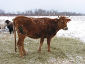 Canadienne heifer dairy cow