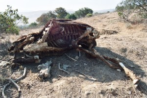 "Dead Runkle cow rotting by ""Fearless Frank"" Serafini"