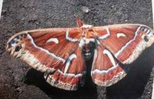 Ceanothus silk moth pictured in Boeing calendar may be half male half female mutant